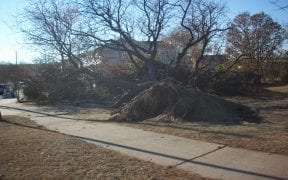 This large tree was uprooted by the strong winds.